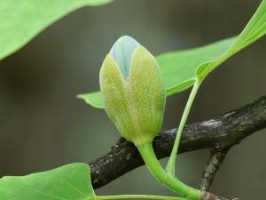 tulip-tree-117453_640