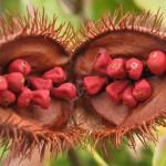 Bixa_orellana_fruit_open